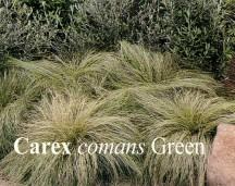 Carex Comans Green