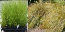 Carex dispacea