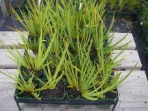 Libertia ixioides