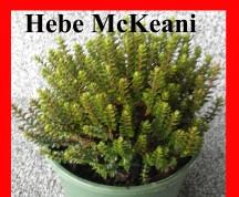 Mckeanii