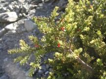 Podocarpus nivalis fruit
