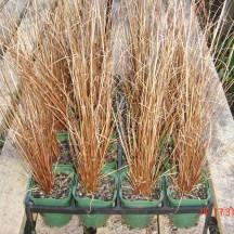 RX90 Carex buchananii