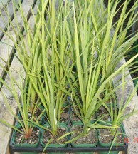 RX90 Cordyline australis