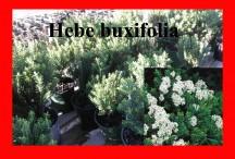buxifolia