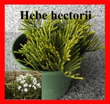 hectorii