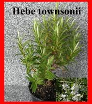 townsonii