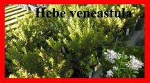venestula