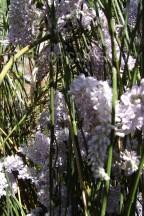 Carmichaelia stevensonii 1