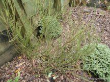 Carmichaelia_Australis__Native_broom-003